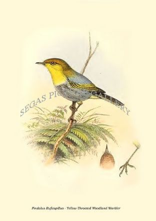 Pindalus Ruficapillus - Yellow-Throated Woodland Warbler